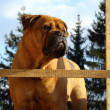 Stock Photo: Bullmastiff Outdoor Portrait
