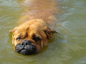 Head of a dog in water (bullmastiff) — Stock Photo