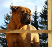 Bullmastiff Outdoor Portrait — Stock Photo