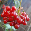 Stock Photo: Guelder-rose cluster on branch