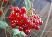Guelder-rose cluster on a branch — Stock Photo