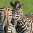 Zebra's — Stock Photo
