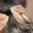 Bearded dragon - Stock Photo