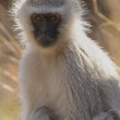 Vervet monkey — Stock Photo #3750850