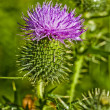 Stock Photo: Nodding Thistle