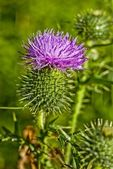 Annuendo thistle — Foto Stock