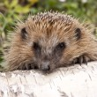 Hedgehog — Stock Photo #3547364