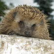 Hedgehog — Stock Photo #3699652