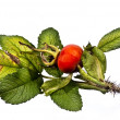 Stock Photo: Fruits of wild rose