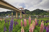 Lupine Flowers Under the Bridge — Stock Photo