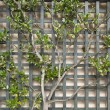 Stock Photo: Espalier Tree on Trellis 2