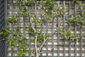 Espalier Tree on Trellis 2 — Stock Photo