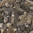 Morchella Morel Mushrooms - Stock Photo