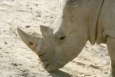 Rhino head — Stock Photo