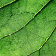 Stock Photo: Leaf veins texture