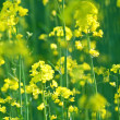 Stock Photo: Blooming canola