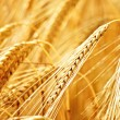 Ripe wheat in summer - Stock Photo