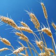 Ripe wheat and blue sky — Stock Photo