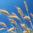 Ripe wheat and blue sky - Stock Photo