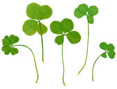 Four leaf clovers — Stock Photo