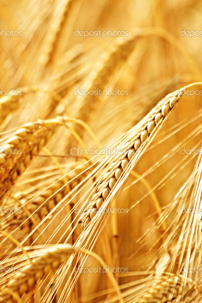 Closeup of ripe wheat ear in summer  Stock Photo #2832745