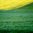 Stock Photo: Fresh green grass and golden canola