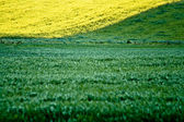 Fresh green grass and golden canola — Stock Photo