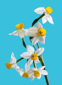 White Spring narcissus — Стоковое фото