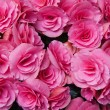 Pink flowers of tuberous begonias - Stockfoto