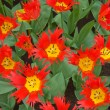 Red and yellow tulips - Stockfoto