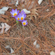 Tricolor crocus and pine needles - Stockfoto