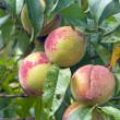 Foto Stock: Three peaches ripening in tree
