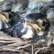 Two baby robins in a nest — Stockfoto