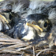 Two baby robins in a nest — 图库照片