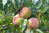 Three peaches ripening in a tree — Stock Photo