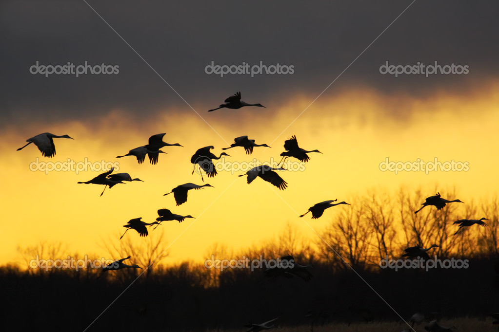 Migrating sandhill cranes (Grus canadensis) glide to a landing at sunset in the Jasper-Pulaski Fish and Wildlife Area near Medaryville, Indiana  Stock Photo #3758528
