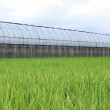 Greenhouse and green Paddy - Stock Photo