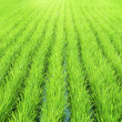 Green Paddy - Stock Photo