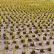Rice culture field — Stock Photo