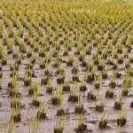 Rice culture field — Stock Photo