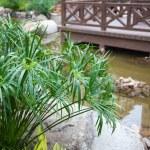 Cyperus alternifolius in garden — Stock Photo #2748486