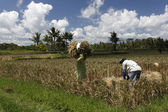 Workers in the rice fields — Stock Photo