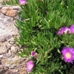 Mediteranean flowers — Stock Photo