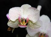 орхидеи — Стоковое фото