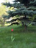 Lonely tulip — Stock Photo