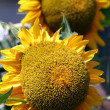 Helianthus annuus - Stock Photo