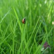 Ladybug macro in grass — Stock Photo