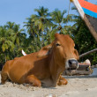 Stock Photo: Cow on beach