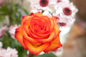 Flower of a scarlet rose — Stock Photo