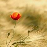Poppy in the field — Stock Photo